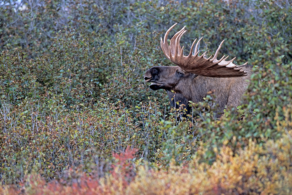 Elch, die Brunft beginnt im September und endet im Oktober  -  (Alaskaelch - Foto Elchbulle flehmend), Alces alces - Alces alces gigas, Moose, the mating occurs in September and October  -  (Alaskan Moose - Photo bull Moose flehming)
