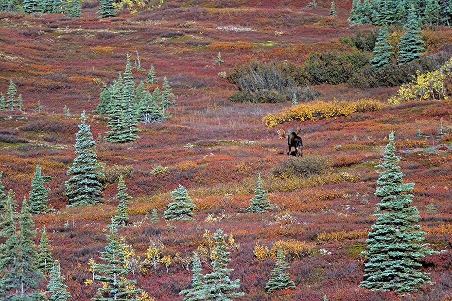 Elch, die Paarungszeit wird in der Fachsprache Brunft oder Brunftzeit genannt  -  (Alaskaelch - Foto Elchschaufler in der herbstlichen Tundra), Alces alces - Alces alces gigas, Moose, the mating season called THE RUT  -  (Alaska Moose - Photo bull Moose in indian summer)