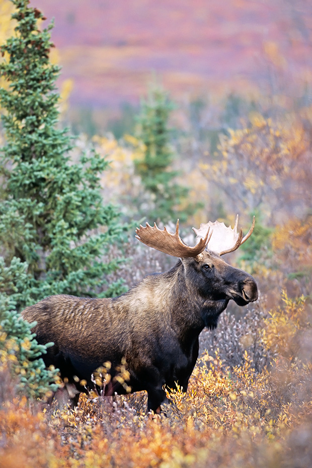 Elche sind sehr gute Schwimmer  -  (Alaskaelch - Foto junger Elchbulle im Denali-Nationalpark), Alces alces - Alces alces gigas, Moose are excellent swimmers  -  (Giant Moose - Photo young bull Moose in Denali National Park)