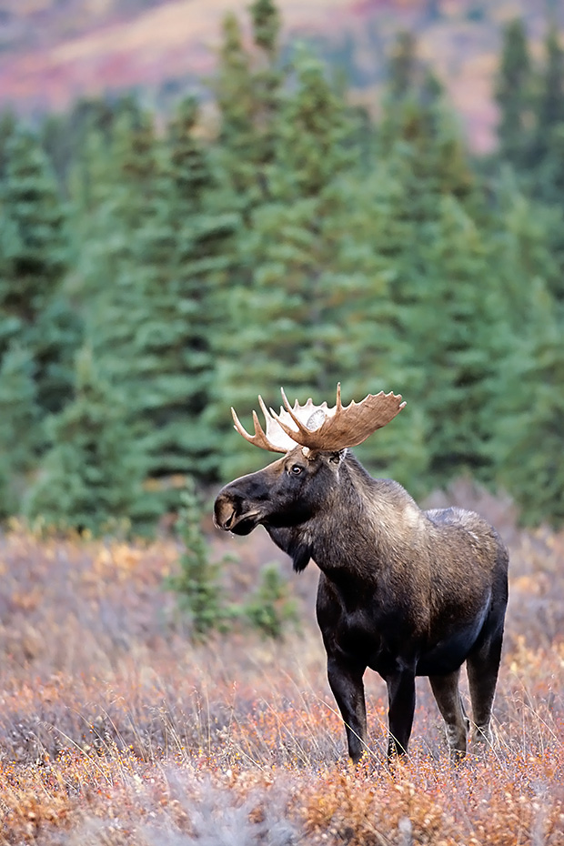 Elch, gute Beobachtungsmoeglichkeiten finden Naturliebhaber in Norwegen, Schweden und Finnland  -  (Alaskaelch - Foto Elchbulle im Denali Nationalpark), Alces alces - Alces alces gigas, Moose are found in large numbers throughout Norway, Sweden and Finland  -  (Alaska Moose - Photo bull Moose in Denali National Park)
