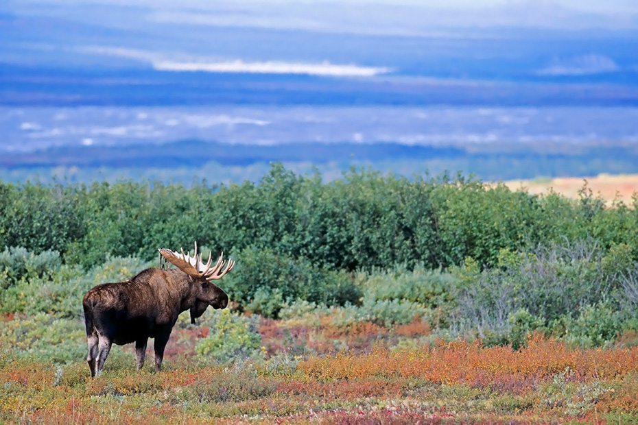 Elch, eine sehr wichtige Rolle bei der Ernaehrung spielen Wasserpflanzen  -  (Alaska-Elch - Foto Elchbulle in der herbstlichen Tundra), Alces alces - Alces alces gigas, Moose need to consume a good quantity of aquatic plants  -  (Alaskan Moose - Photo bull Moose in the tundra)