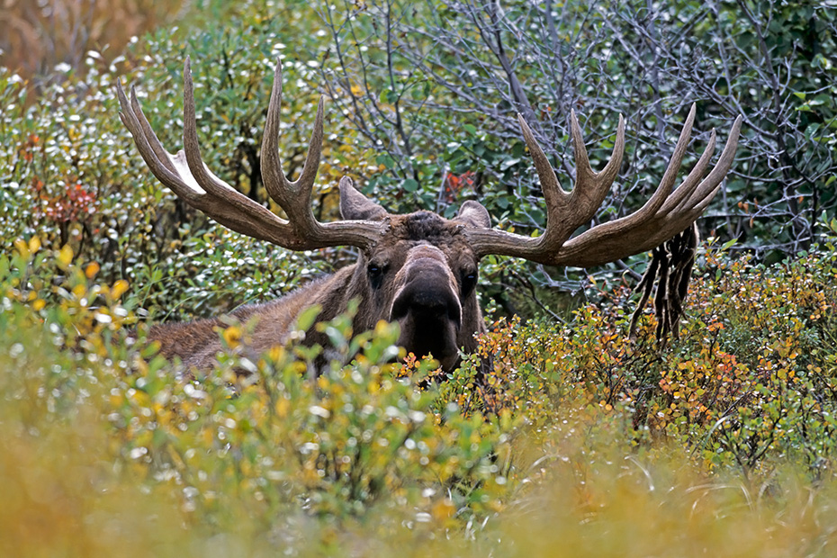 Elch, das Wachstum der neuen Geweihe beginnt im Fruehjahr  -  (Alaska-Elch - Foto Elchschaufler vor Brunftbeginn), Alces alces - Alces alces gigas, Moose, the new antlers will regrow in the spring  -  (Alaska Moose - Photo bull Moose in the tundra)