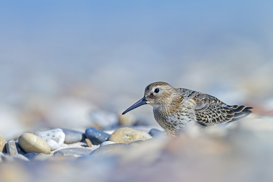 Alpenstrandlaeufer sind Bodenbrueter  -  (Foto Altvogel im Ruhekleid), Calidris alpina, Dunlin nests on the ground  -  (Photo adult bird in basic plumage)