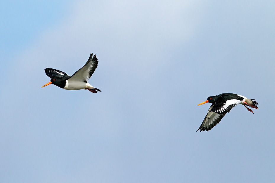 Austernfischer erreichen nach vier Jahren die Geschlechtsreife  -  (Foto Austernfischer im Flug), Haematopus ostralegus, Eurasian Oystercatcher reach sexual maturity at four years of age  -  (Common Pied Oystercatcher - Photo Eurasian Oystercatcher in flight)