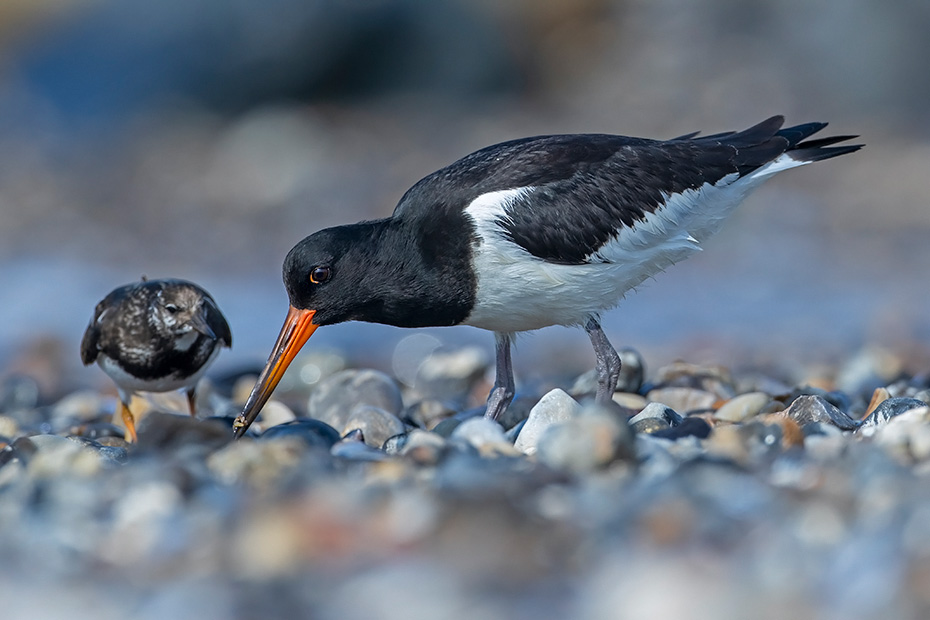 Austernfischer legen gewoehnlich 3 Eier  -  (Foto Austernfischer ein Schwarm im Brutkleid und Ruhekleid), Haematopus ostralegus, Eurasian Oystercatcher usually lays 3 eggs  -  (Oystercatcher - Photo Eurasian Oystercatcher a flock of birds in breeding and non-breeding plumage)