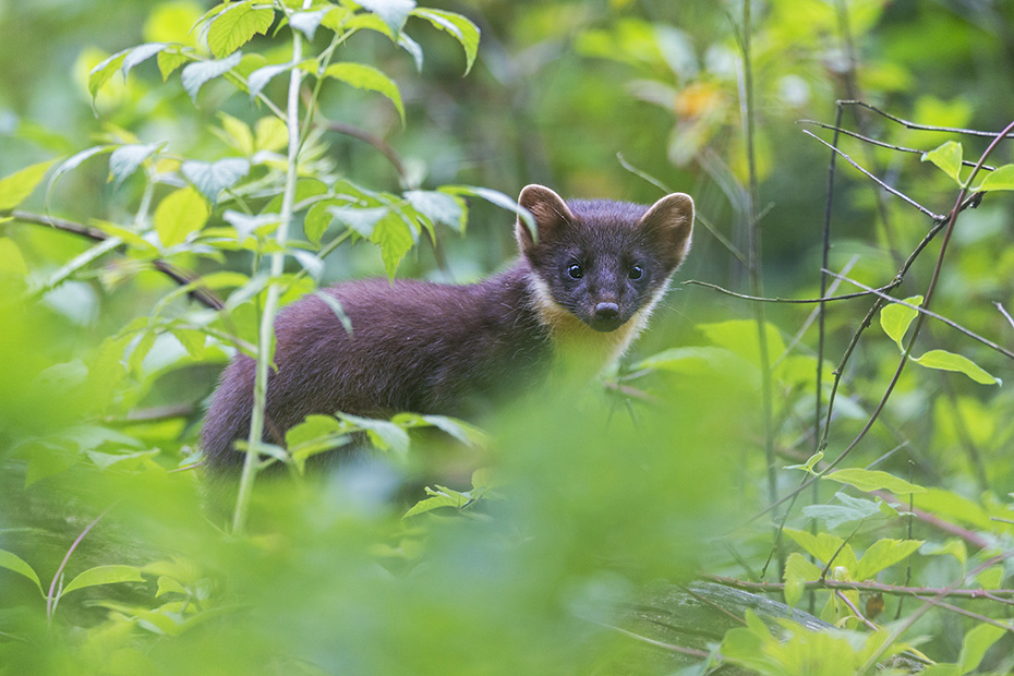 Baummarder haben einen gelben Kehlfleck  -  (Edelmarder - Foto Baummarder Jungtier in einem Alter von circa 4 Monaten), Martes martes, European Pine Marten has a yellow coloured marking on his throat  -  (Baum Marten - Photo European Pine Marten young about 4 months old)