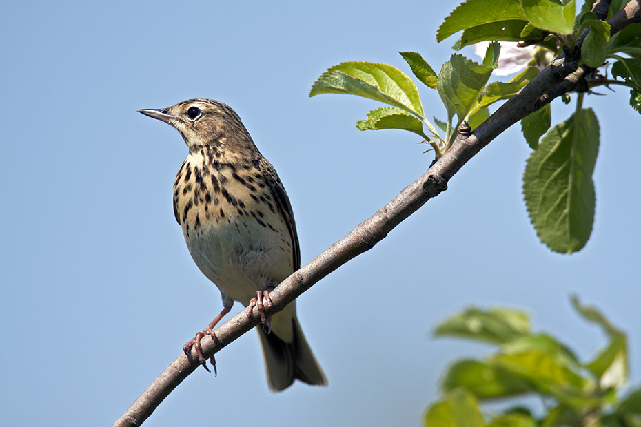 Baumpieper, die Geschlechter lassen sich anhand des Gefieders nicht unterscheiden  -  (Foto Baumpieper Altvogel), Anthus trivialis, Tree Pipit, the plumage of males and females look identical  -  (Eurasian Tree Pipit - Photo Tree Pipit adult male)