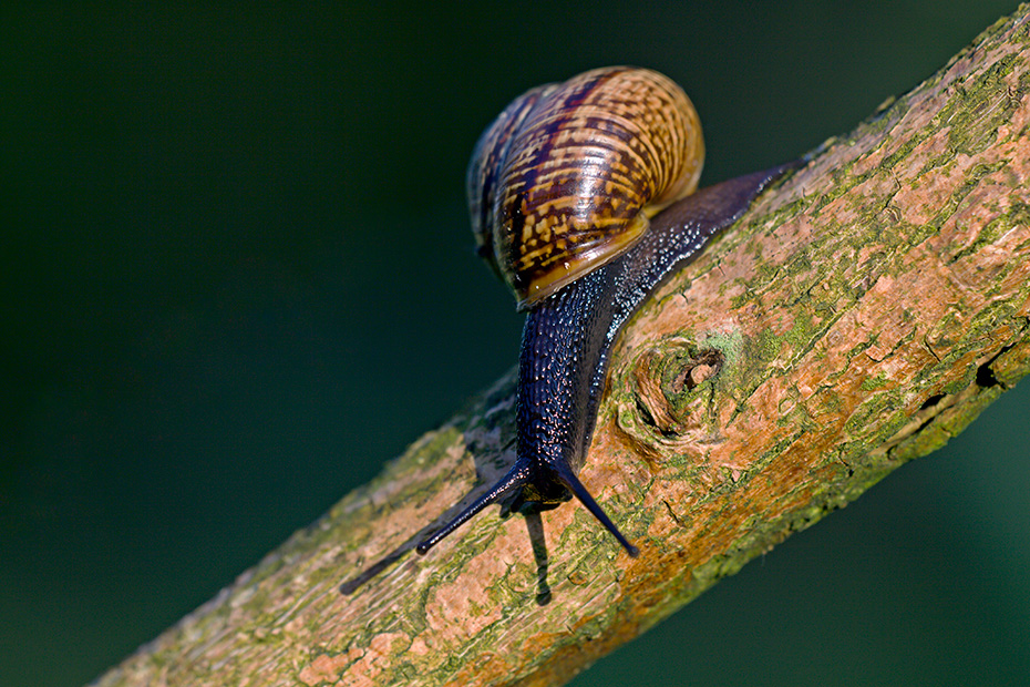 Baumschnecke, das Schneckengehaeuse hat 5 - 5,5 Windungen  -  (Gefleckte Schnirkelschnecke - Foto Baumschnecke auf einem Ast), Arianta arbustorum, Copse Snail, the shell has 5 to 5.5 whorls  -  (Photo Copse Snail on a branch)