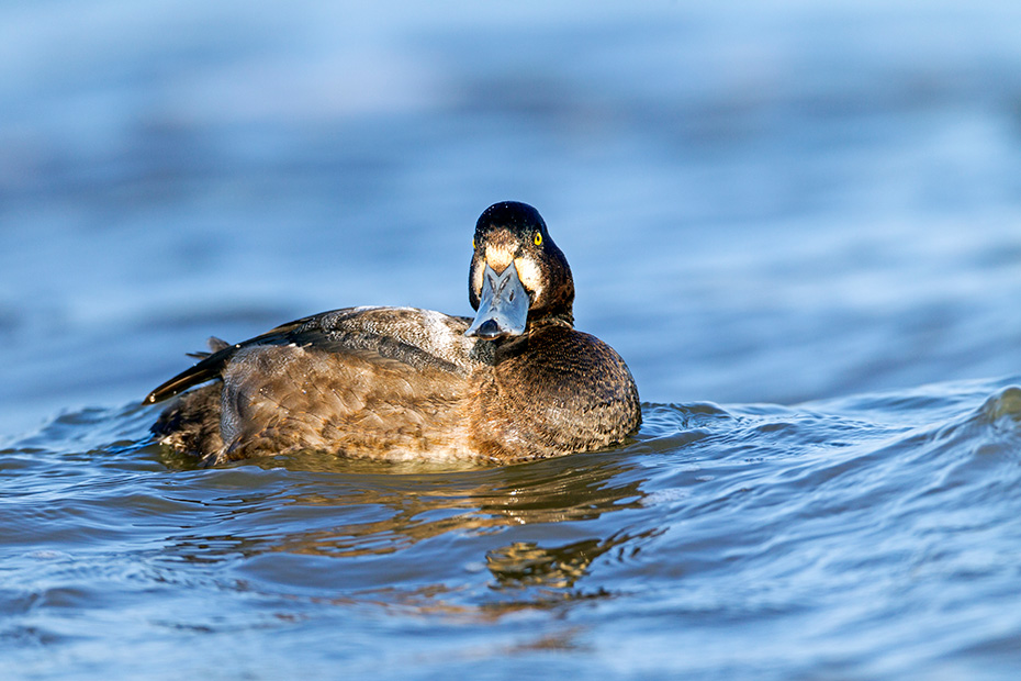 Bergenten brueten erstmalig in einem Alter von 2 Jahren  -  (Foto Bergente juveniles Maennchen), Aythya marila, Greater Scaup begin breeding when they are 2 years old  -  (Greater black-head - Photo Greater Scaup juvenile drake)