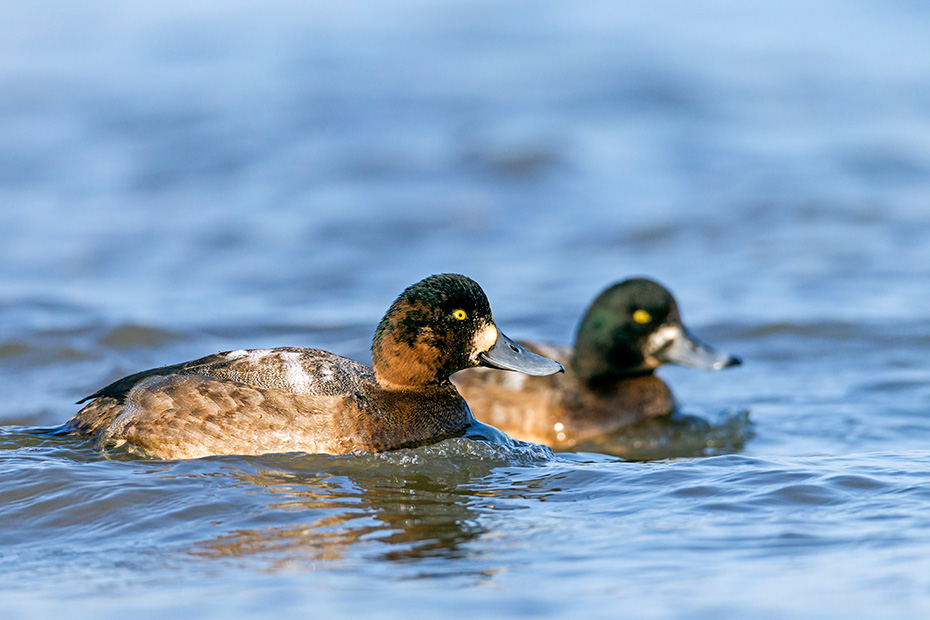 Bergente, zirka 40 - 45 Tage nach dem Schluepfen sind die Jungvoegel flugfaehig  -  (Foto Bergente juvenile Maennchen), Aythya marila, Greater Scaup, the ducklings are able to fly 40 to 45 days after hatching  -  (American Scaup - Photo Greater Scaup juvenile drakes)