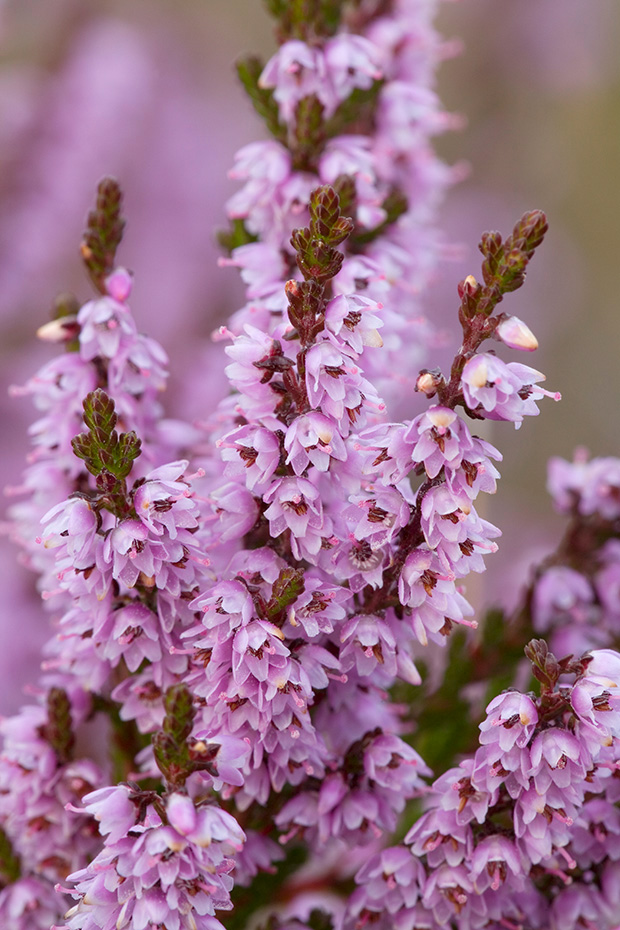 Besenheide, der Nektar ist fuer Insekten leicht zugaenglich  -  (Heidekraut - Foto in Bluete), Calluna vulgaris, Common Heather, the nectar is an important food source for many insects like bees, butterflies and moths  -  (Ling - Photo blooming)