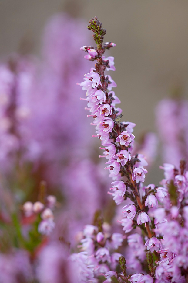 Besenheide, die Bestaeubung erfolgt haeufig durch Insekten wie Bienen und Nachtfalter  -  (Heidekraut - Foto in Bluete), Calluna vulgaris, Common Heather is the dominant plant in most heathland and moorland in Europe  -  (Ling - Photo blooming)