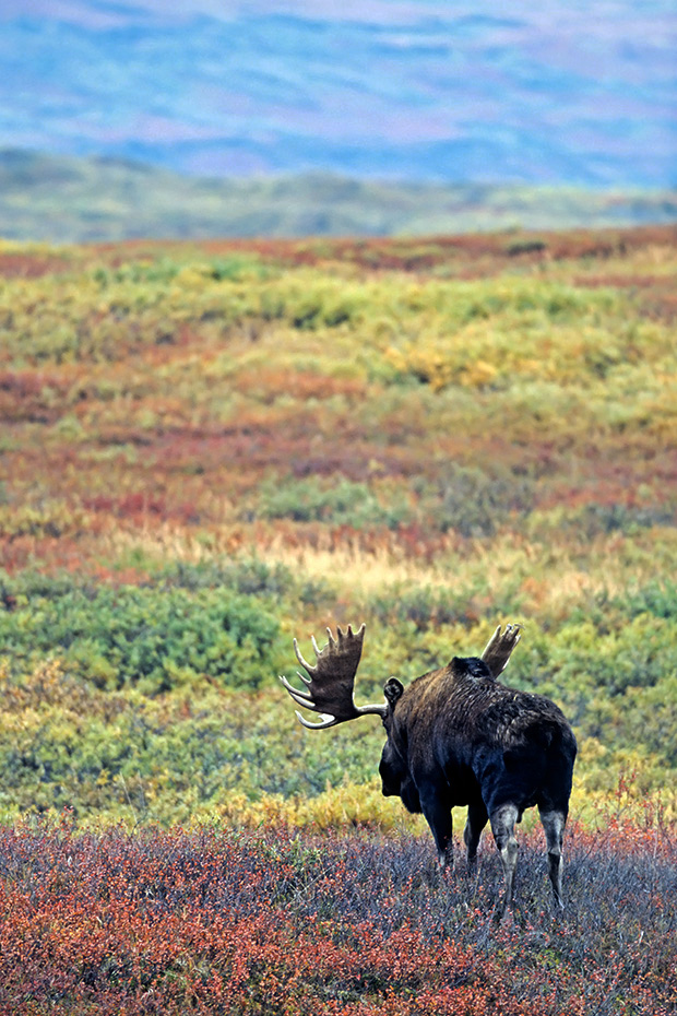 Elch, nur den Maennchen wachsen Geweihe  -  (Alaskaelch - Foto Elchschaufler wenige Tage vor Brunftbeginn), Alces alces - Alces alces gigas, Moose, only the bull Moose grow antlers  -  (Alaska Moose - Photo bull Moose in the tundra)