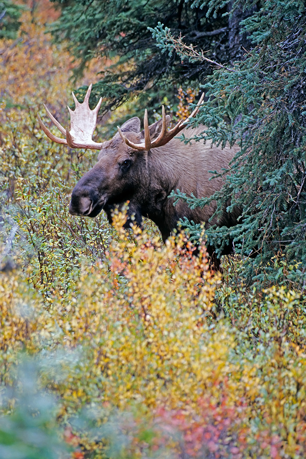 Elch, das Wachstum der neuen Geweihe beginnt im Fruehjahr  -  (Alaskaelch - Foto junger Elchbulle), Alces alces - Alces alces gigas, Moose, the new antlers will regrow in the spring  -  (Giant Moose - Photo young bull Moose)