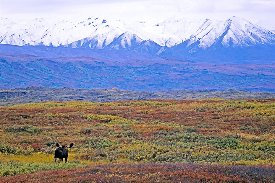 Elch, die Paarungszeit wird in der Fachsprache Brunft oder Brunftzeit genannt  -  (Alaska-Elch - Foto Elchbulle vor der Alaska-Bergkette), Alces alces - Alces alces gigas, Moose, the mating season called THE RUT  -  (Giant Moose - Photo bull Moose in front of the Alaska-Range)