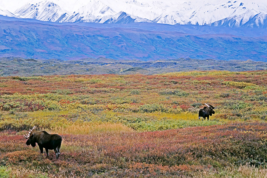 Elch, in Alaska und Sibirien koennen die groessten Vertreter dieser Tierart beobachtet werden  -  (Alaskaelch - Foto Elchbullen vor der Alaskabergkette), Alces alces - Alces alces gigas, Moose, the largest subspecies can be found in Alaska and Siberia  -  (Alaska Moose - Photo bull Moose in front of the Alaskarange)
