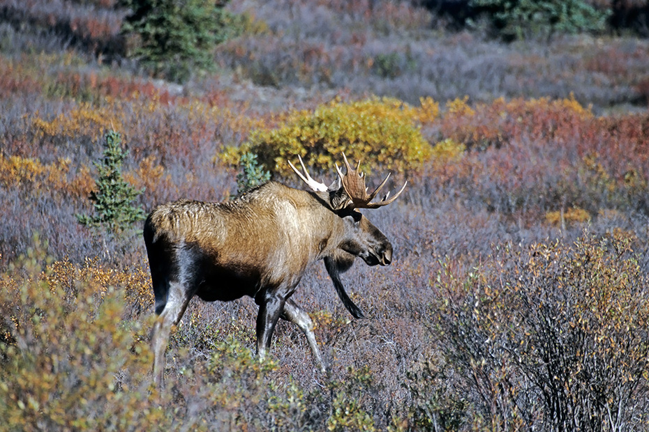 Elch, eine sehr wichtige Rolle bei der Ernaehrung spielen Wasserpflanzen  -  (Alaska-Elch - Foto junger Elchbulle mit sehr langem Bartschmuck), Alces alces - Alces alces gigas, Moose need to consume a good quantity of aquatic plants  -  (Alaskan Moose - Photo young bull Moose with a long beard)