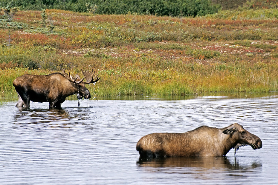 Elch, eine sehr wichtige Nahrungsquelle sind Wasserpflanzen  -  (Alaska-Elch - Foto Elchbulle und Elchkuh in einem Tundrasee), Alces alces - Alces alces gigas, Moose need to consume a good quantity of aquatic plants  -  (Alaska Moose - Photo bull Moose and cow Moose in a lake in the tundra)