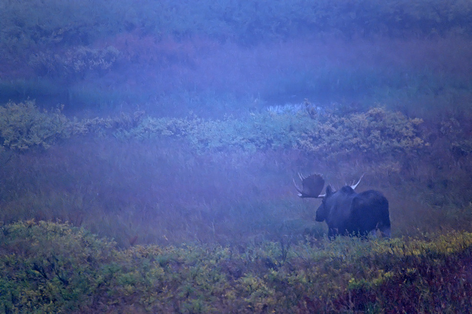 Elch, in Alaska und Sibirien koennen die groessten Vertreter dieser Tierart beobachtet werden  -  (Alaska-Elch - Foto Elchbulle im Nebel), Alces alces - Alces alces gigas, Moose, the largest subspecies can be found in Alaska and Siberia  -  (Alaska Moose - Photo bull Moose in fog)