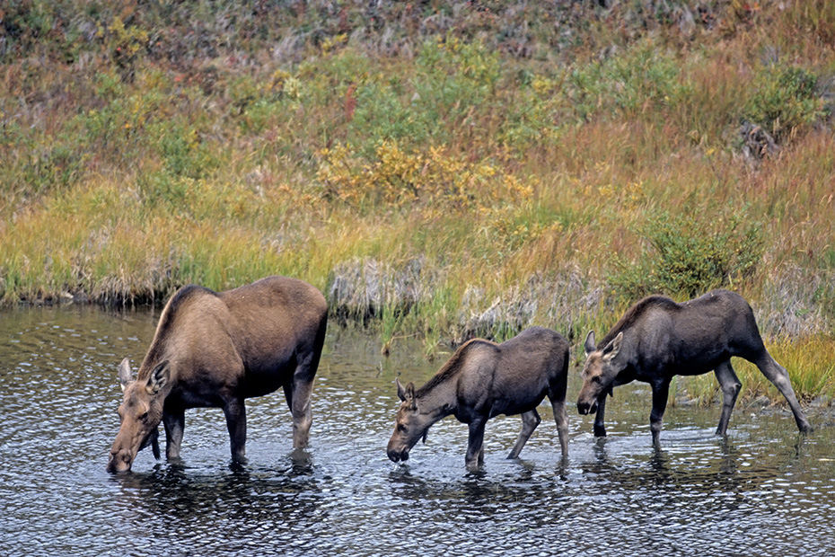 Elch, die Kaelber werden im Mai und Juni geboren  -  (Alaska-Elch - Foto Elchkuh und Elchkaelber in einem Tundrasee), Alces alces - Alces alces gigas, Moose, the young are usually born in May and June  -  (Giant Moose - Photo cow Moose and calves in a lake in the tundra)