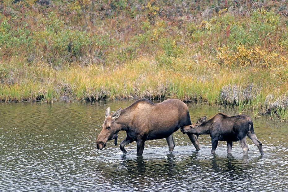 Elche sind dafuer bekannt ins Wasser zu waten um Wasserpflanzen zu fressen  -  (Alaska-Elch - Foto Elchkuh und Kalb in einem Tundrasee), Alces alces - Alces alces (alces), Moose are known to wade into water to eat aquatic plants  -  (Alaska Moose - Photo cow Moose with calf in a pond)