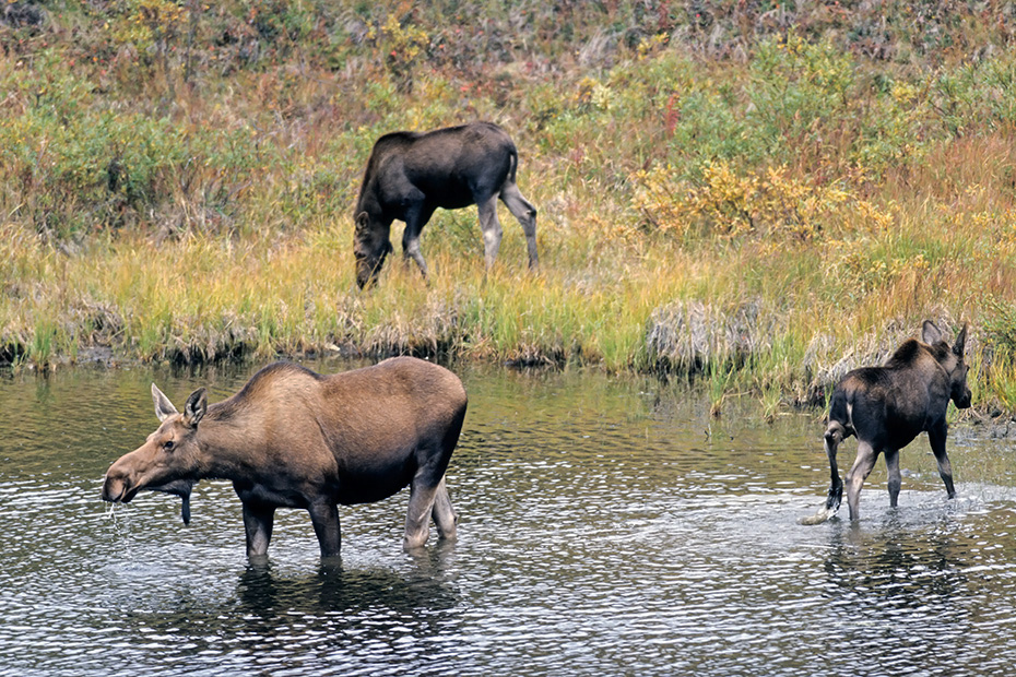 Elche sind die einzige Hirschart, die auch unter Wasser fressen kann  -  (Alaska-Elch - Foto Elchkuh und Elchkaelber in einem Tundrasee), Alces alces - Alces alces gigas, Moose are the only deer that are capable of feeding underwater  -  (Giant Moose - Photo cow Moose and calves in a lake in the tundra)