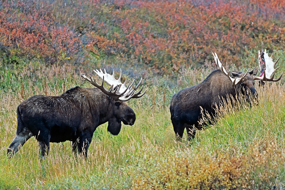Elche koennen in Gefangenschaft ein Hoechstalter von 27 Jahren erreichen  -  (Alaska-Elch - Foto Elchbullen spielerisch kaempfend), Alces alces - Alces alces gigas, Moose, the maximum lifespan in captivity is 27 years of age  -  (Alaska Moose - Photo bull Moose playfully fighting)