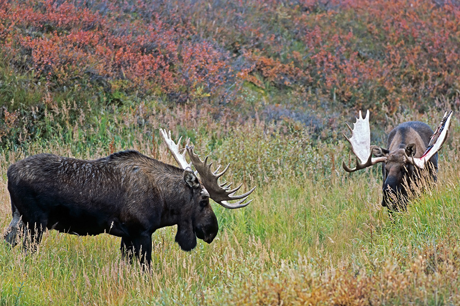Elche sind die zweitgroessten Landsaeuger Europas und Nordamerikas  -  (Alaska-Elch - Foto Elchschaufler spielerisch kaempfend), Alces alces - Alces alces gigas, Moose are the second largest land animals in Europe and North America  -  (Alaska Moose - Photo bull Moose playfully fighting)