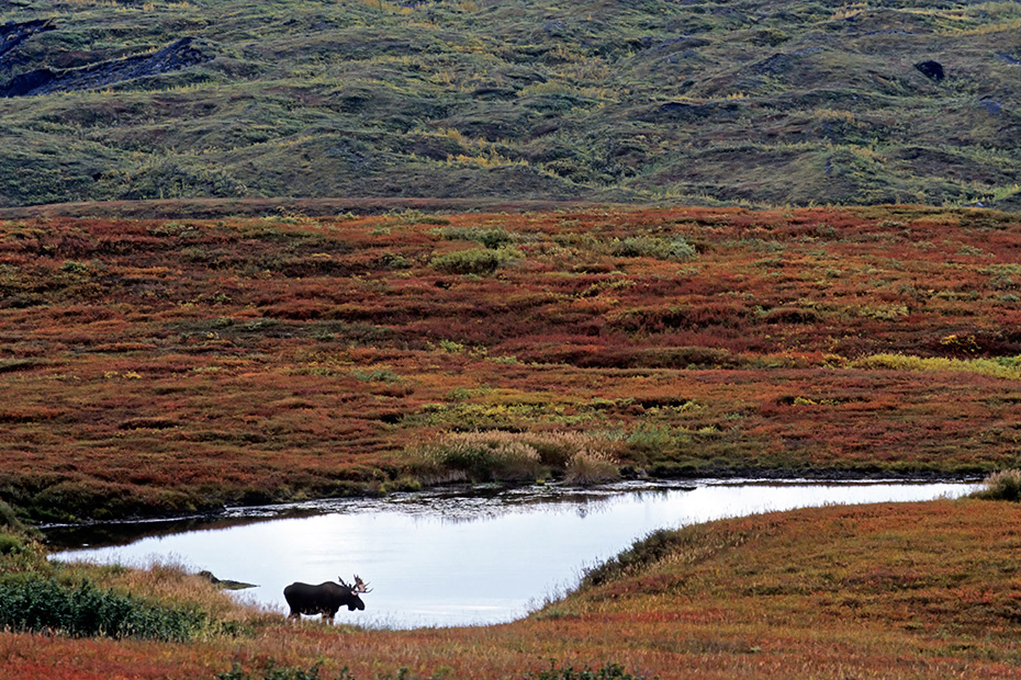 Elch, in Alaska und Sibirien koennen die groessten Vertreter dieser Tierart beobachtet werden  -  (Alaskaelch - Foto Elchbulle in einem Tundrasee), Alces alces - Alces alces gigas, Moose, the largest subspecies can be found in Alaska and Siberia  -  (Alaska Moose - Photo bull Moose in a pond)