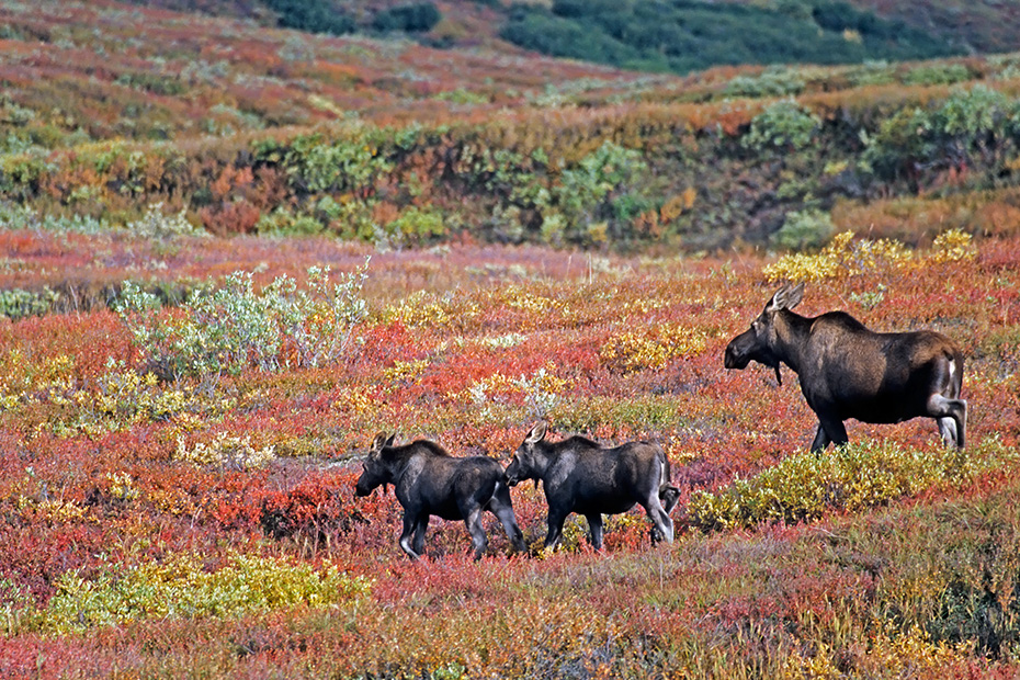 Elch, die Tragzeit der Elchkuh betraegt 8 Monate  -  (Alaskaelch - Foto Elchkuh mit Kaelbern), Alces alces - Alces alces gigas, Moose, the females have an eight-month gestation period  -  (Giant Moose - Photo cow Moose and calves)