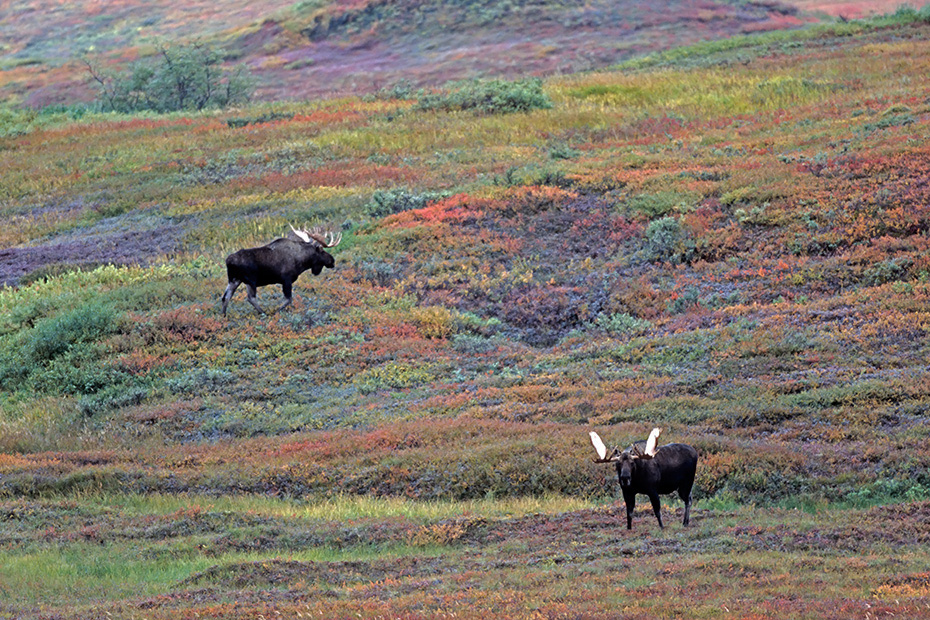 Elche koennen taeglich mehr als 32kg Nahrung aufnehmen  -  (Alaska-Elch - Foto Elchbullen in der herbstfarbenen Tundra), Alces alces - Alces alces gigas, Moose can eat up to 32kg of food per day  -  (Alaska Moose - Photo bull Moose in indian summer)