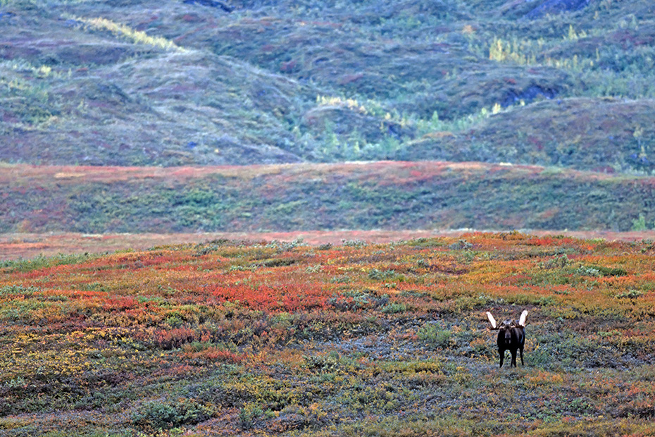 Elch, eine sehr wichtige Rolle bei der Ernaehrung spielen Wasserpflanzen  -  (Alaska-Elch - Foto Elchbulle in der herbstlichen Tundra), Alces alces - Alces alces gigas, Moose need to consume a good quantity of aquatic plants  -  (Alaska Moose - Photo bull Moose in the tundra)