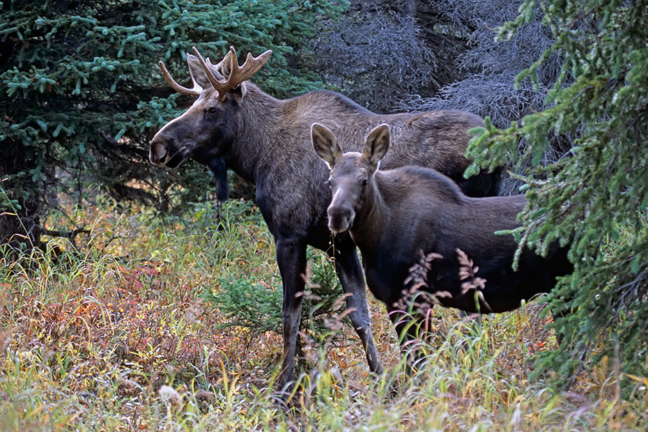 Elch, gute Beobachtungsmoeglichkeiten finden Naturliebhaber in Norwegen, Schweden und Finnland  -  (Alaska-Elch - Foto junger Elchbulle und Elchkalb), Alces alces - Alces alces gigas, Moose are found in large numbers throughout Norway, Sweden and Finland  -  (Giant Moose - Photo young bull Moose and Moose calf)