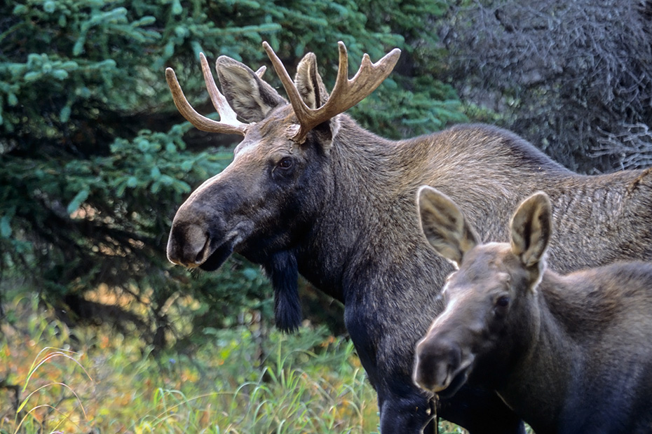 Elch, eine sehr wichtige Rolle bei der Ernaehrung spielen Wasserpflanzen  -  (Alaska-Elch - Foto junger Elchbulle und Elchkalb), Alces alces - Alces alces gigas, Moose need to consume a good quantity of aquatic plants  -  (Alaskan Moose - Photo young bull Moose and calf)