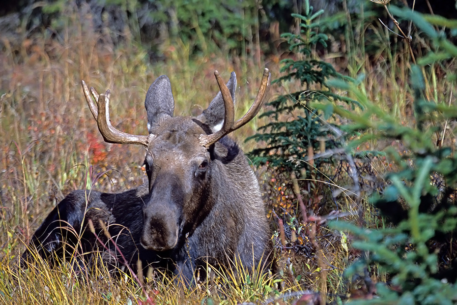 Elche werden im Britischen Englisch ELK genannt, im Amerikanischen Englisch heisst er MOOSE  -  (Alaska-Elch - Foto junger Elchbulle), Alces alces - Alces alces gigas, Moose is called ELK in British English  -  (Alaska Moose - Photo bull Moose resting)