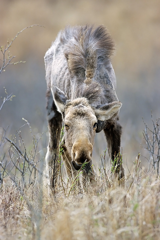 Elch, die Kaelber werden im Mai und Juni geboren  -  (Westkanadischer Elch - Foto einjaehriges Elchkalb aest frische Weidentriebe), Alces alces - Alces alces andersoni, Moose, the young are usually born in May and June  -  (Western Moose - Photo Moose calf 1 year of age)