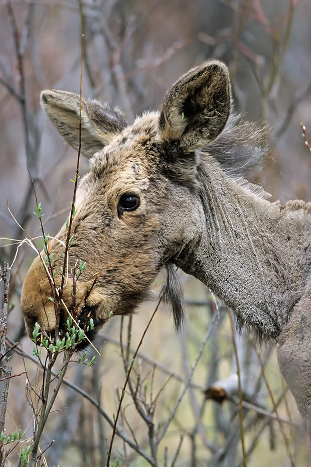 Elch, die Tragzeit betraegt 8 Monate  -  (Westkanadischer Elch - Foto einjaehriges Elchkalb aest frische Weidentriebe), Alces alces - Alces alces andersoni, Moose, the females have an 8 month gestation period  -  (Western Moose - Photo Moose calf 1 year of age)