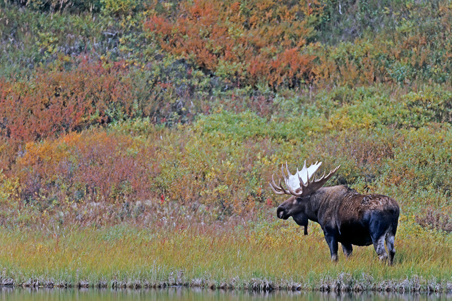 Elch, die Brunft beginnt im September und endet im Oktober  -  (Alaskaelch - Foto Elchbulle an einem Tundrasee), Alces alces - Alces alces gigas, Moose, the mating occurs in September and October  -  (Alaska Moose - Photo bull Moose in the tundra)