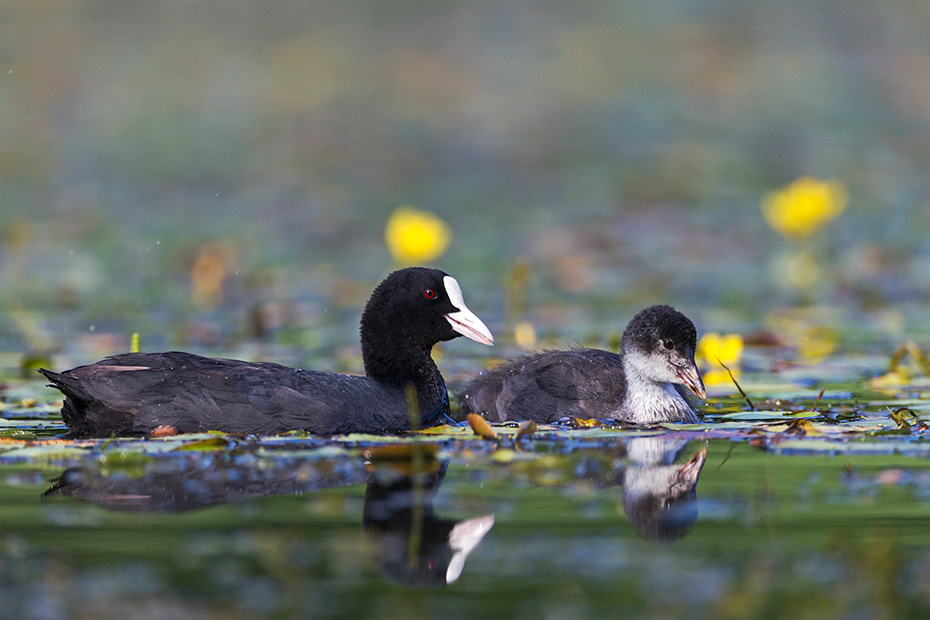 Blaesshuhn, die meisten Jungvoegel sterben innerhalb der ersten 10 Lebenstage  -  (Blaessralle - Foto Blaesshuhn Alt- und Jungvogel), Fulica atra, Eurasian Coot, most chicks died in the first 10 days after hatching  -  (Coot - Photo Eurasian Coot adult and chick)
