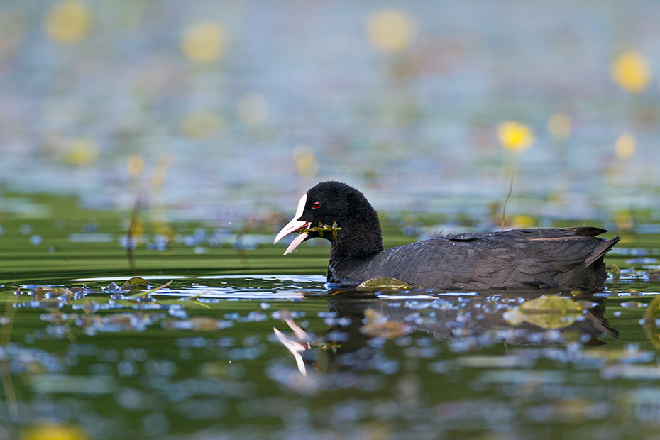 Blaesshuhn, das Gelege wird von beiden Elterntieren bebruetet  -  (Blaessralle - Foto Blaesshuhn zwischen Seekannen), Fulica atra, Eurasian Coot, both sexes incubate the eggs  -  (Black Coot - Photo Eurasian Coot and Water Fringe)