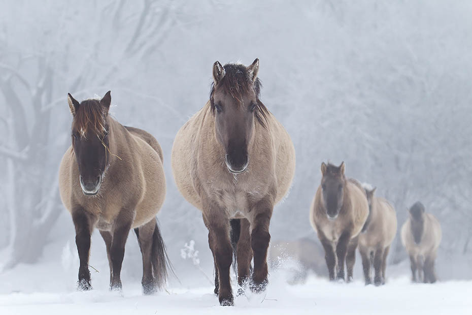 Konikhengste und Stuten wechseln ueber eine verschneite Wiese - (Waldtarpan - Rueckzuechtung), Equus ferus caballus, Heck Horse stallions and mares cross a snowy covered meadow - (Tarpan - breed back)