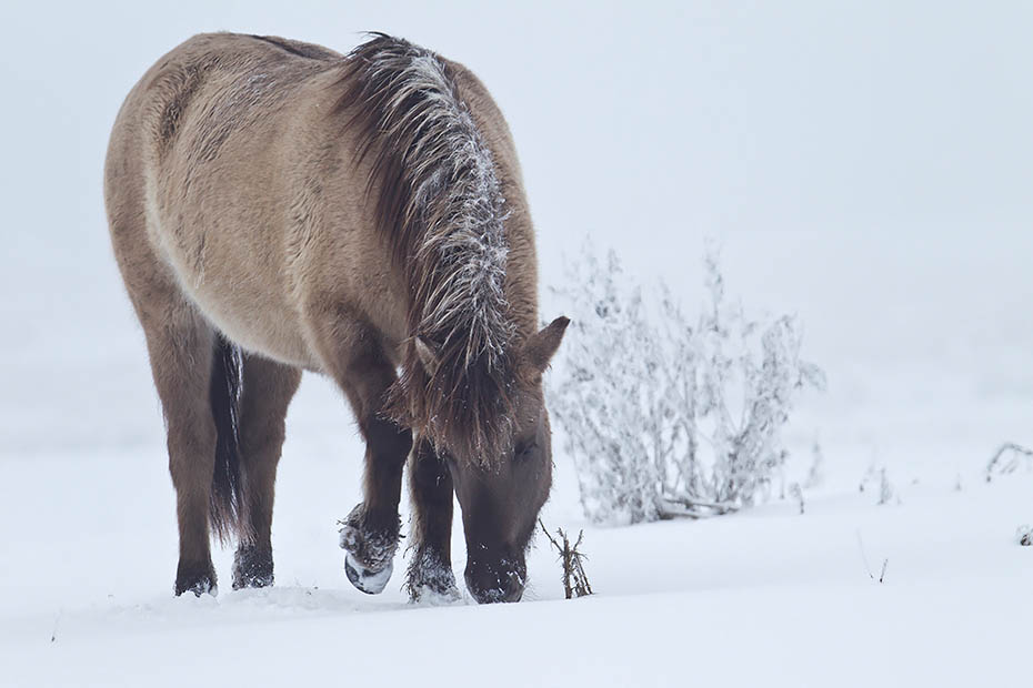 Konikstute scharrt Schnee beiseite um an Nahrung zu gelangen - (Waldtarpan - Rueckzuechtung), Equus ferus caballus, Heck Horse mare paw snow aside to find something to eat - (Tarpan - breed back)