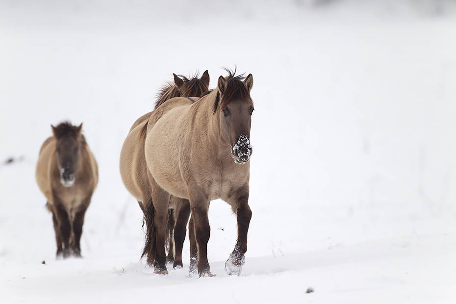 Konikhengst treibt eine Stute vor sich her - (Waldtarpan - Rueckzuechtung), Equus ferus caballus, Heck Horse stallion haunts a mare on a snowy covered meadow - (Tarpan - breed back)