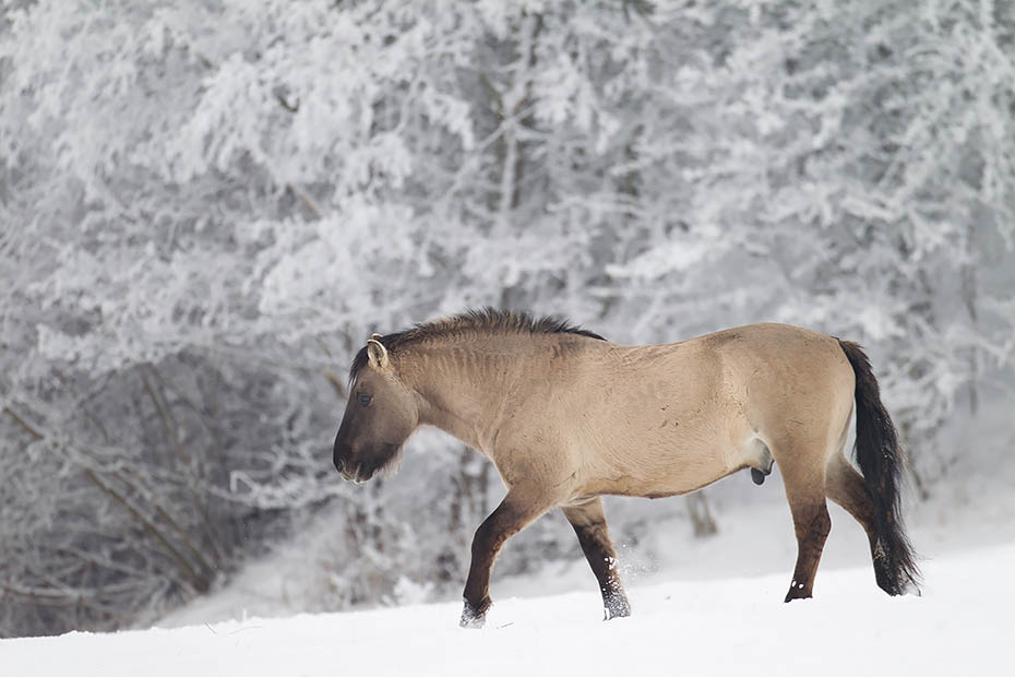 Konikhengst wandert durch eine verschneite Flussniederung - (Waldtarpan - Rueckzuechtung), Equus ferus caballus, Heck Horse stallion cross a snowy covered meadow in a flood plain - (Tarpan - breed back)