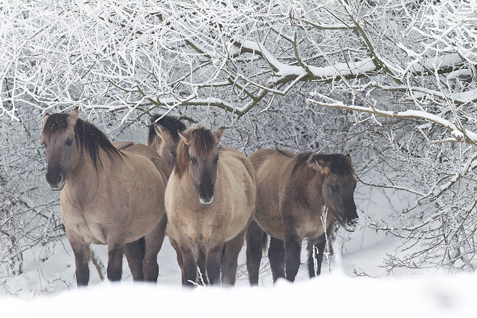 Konikhengst und Stuten stehen gemeinsam unter schneebedeckten Aesten - (Waldtarpan - Rueckzuechtung), Equus ferus caballus, Heck Horse stallion and mares stand together under snowy covered branches - (Tarpan - breed back)