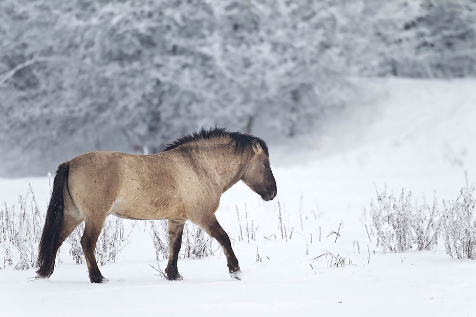 Konikhengst auf einer verschneiten Wiese - (Waldtarpan - Rueckzuechtung), Equus ferus caballus, Heck Horse stallion on a snowy covered meadow - (Tarpan - breed back)