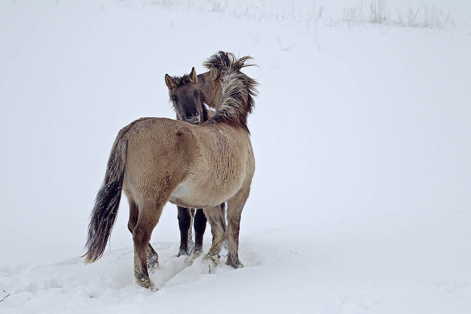 Konikstuten beim spielerischen Kampf um die Rangordnung - (Waldtarpan - Rueckzuechtung), Equus ferus caballus - Equus ferus ferus, Heck Horse mares fight playfully about the ranking - (Tarpan - breed back)