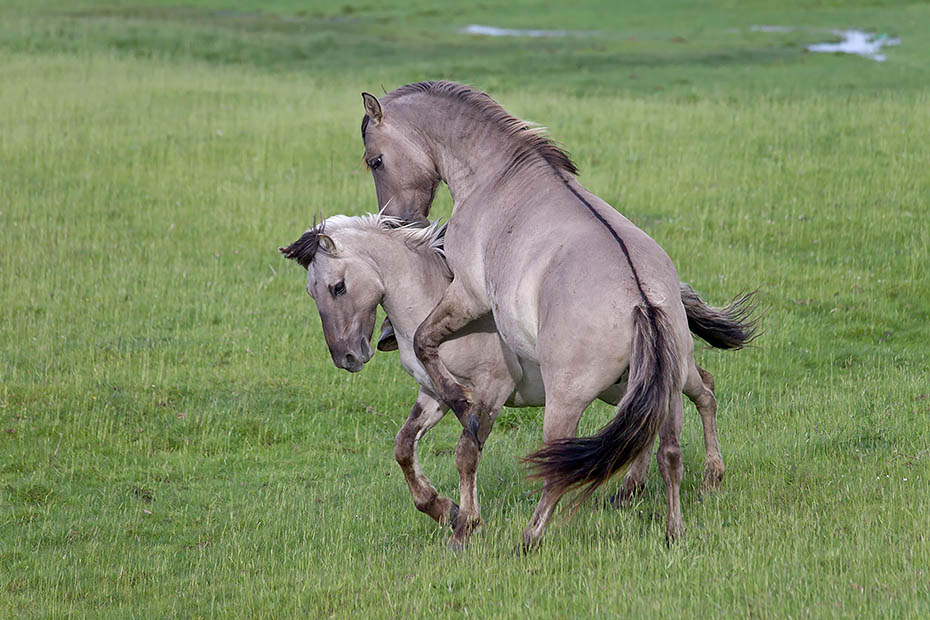 Konikhengste beim spielerischen Kampf um die Rangordnung - (Waldtarpan - Rueckzuechtung), Equus ferus caballus - Equus ferus ferus, Heck Horse stallions fight playful about the ranking - (Tarpan - breed back)
