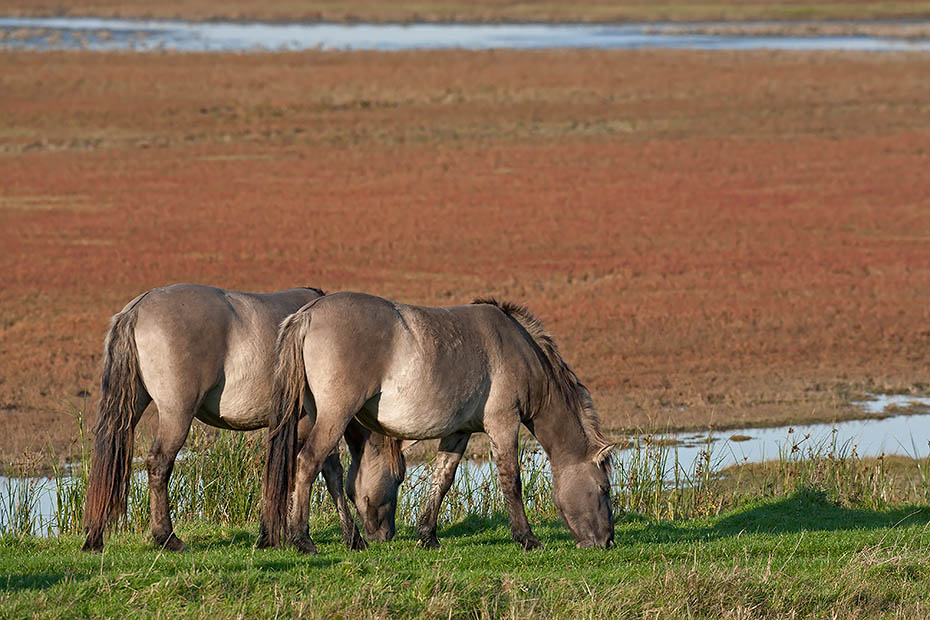 Konikhengst und Stute aesen auf einer Salzgraswiese mit herbstlich verfaerbtem Queller im Hintergrund, Equus ferus caballus, Heck Horse stallion and mare graze on a salt meadow with glassworts in autumnal colours in the back