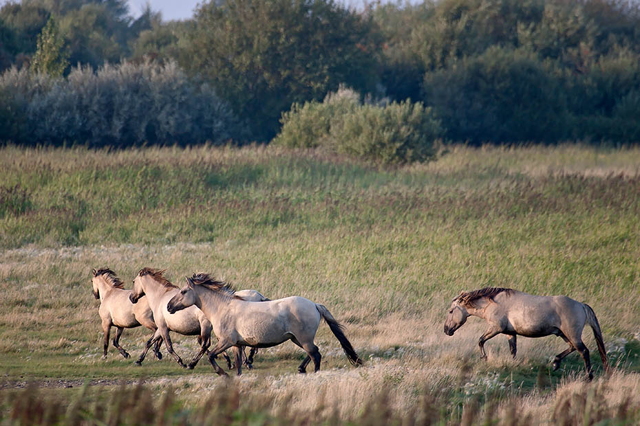 Konikhengst treibt seine Stuten aus dem Gebiet eines anderen Leithengstes - (Waldtarpan - Rueckzuechtung), Equus ferus caballus, Heck Horse stallion haunt his mares out of the territory of another lead stallion - (Tarpan - breed back)